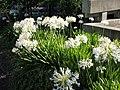 UCB white Agapanthus 2.JPG