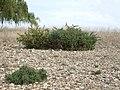 Ulex europaeus — Gorse bush in Yass River bed, Gundaroo NSW Australia by John Tann.jpg