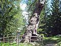 Ultental Obere Urlärche.jpg