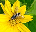 Unidentified fly, Umbulharjo, 2014-04-16 03.jpg