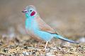 Uraeginthus bengalus - Bird Walk.jpg