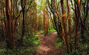 Chiloé National Park - Valdivian temperate rain forest in the park