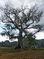 Vallée de Viñales-Ceiba (1).jpg