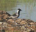 Vanellus armatus (21455289815).jpg