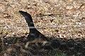 Varanus gouldii (32478903672).jpg