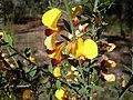 Variable Bossiaea in flower (3475224115).jpg