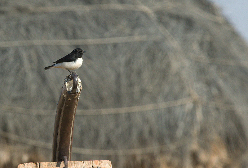 پرونده:Variable wheatear-Oenanthe picata.jpeg