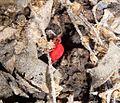 Velvet Mite.Microtrombidiidae. - Flickr - gailhampshire.jpg