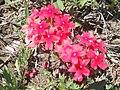 Verbena roja.JPG
