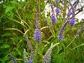 Veronica longifolia.jpg