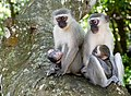 Vervets (Chlorocebus pygerythrus) females with youngs ... (46652827131).jpg