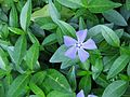 Vinca minor close-up2.jpg
