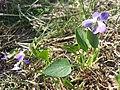 Viola ambigua sl57.jpg