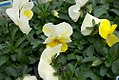 Viola tricolor Penny Yellow Frost 1zz.jpg