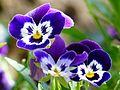 Violet-167917.jpg