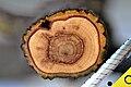 Viscum album wood.jpg