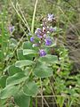 Vitex trifolia subsp. litoralis 7.jpg