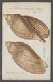 Voluta ancilla - - Print - Iconographia Zoologica - Special Collections University of Amsterdam - UBAINV0274 087 04 0027.tif
