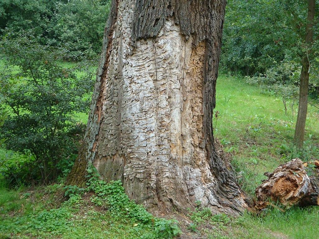 Poškodený strom larvami fúzača veľkého
