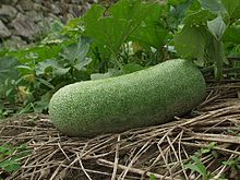 Nearly mature winter melon