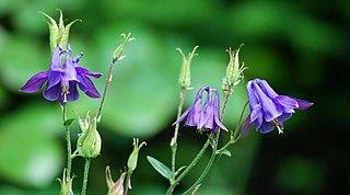 <i>Aquilegia</i> genus of plants