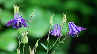 Aquilegia - flower and fruit of Aquilegia vulgaris (type species)