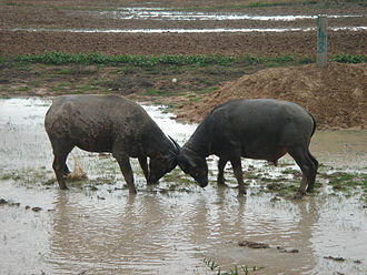 Bovini - Water buffalo ramming against each other using the weight of their heads and their horns.