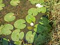 Water lily small.jpg