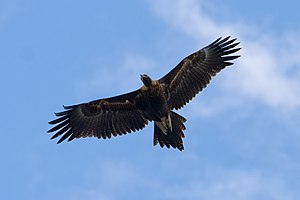 Wedge-tailed eagle - In flight, the wedged tail is clearly visible.
