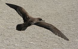 Wedge tailed shearwater flight