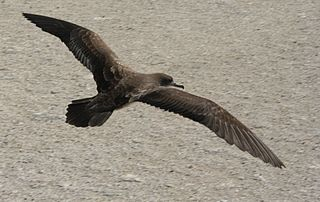 Wedge tailed shearwater flight.JPG
