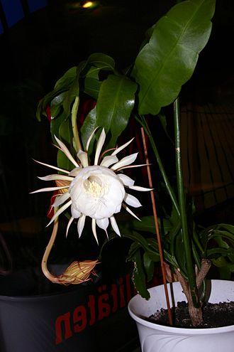 Epiphyllum - Epiphyllum oxypetalum