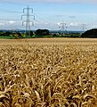 Weighton wheat - geograph.org.uk - 934327.jpg