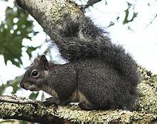 WesternGraySquirrel1.jpg