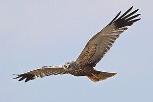Foto einer fliegenden Rohrweihe