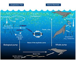 Biogeochemical cycle - An illustration of the oceanic whale pump showing how whales cycle nutrients through the water column.