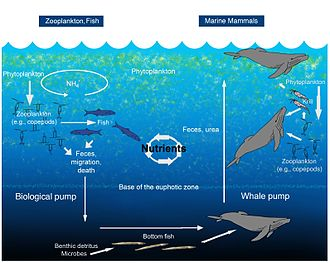 Biogeochemical cycle - An illustration of the oceanic whale pump showing how whales cycle nutrients through the water column