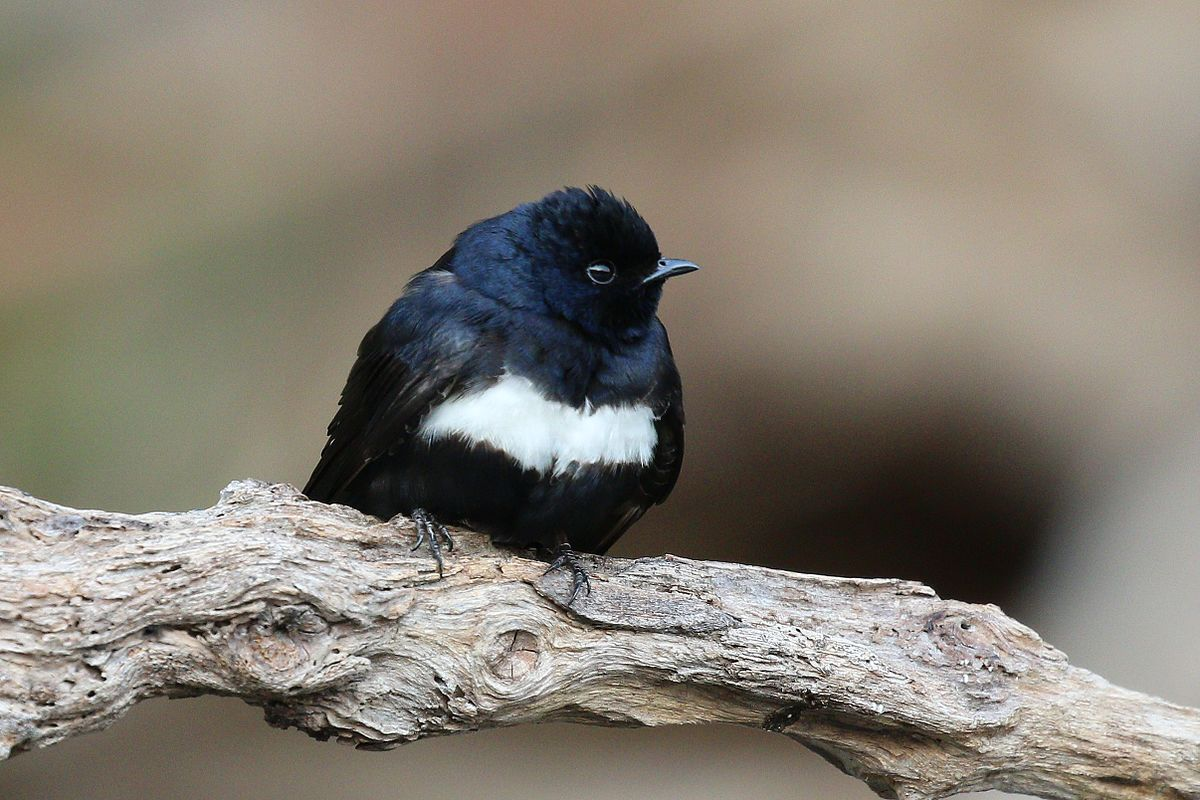 White-banded swallow - Wikipedia