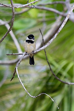 White-collared Seedeater - Sporophila torqueola (33513337072).jpg
