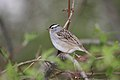 White-crowned Sparrow (Zonotrichia leucophrys) (2587717380).jpg