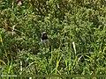 White-tailed Rubythroat (Luscinia pectoralis) (28545644483).jpg