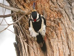 White-winged Woodpecker (520304388).jpg