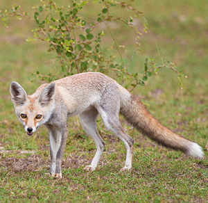 White-footed fox - An Indian Desert Fox or White-footed Fox (V. v. pusilla) from Tal Chappar, Rajasthan, India