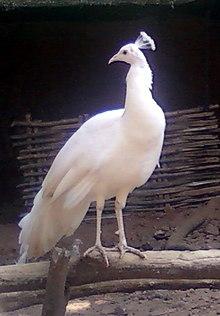 Indian peafowl - Wikipedia