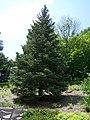 White fir MN 2007.JPG