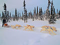 White huskies dog sledding.jpg