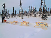 A team of white Siberians mushing