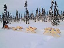 White huskies dog sledding.jpg