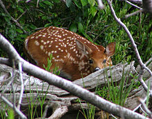 A small reddish-brown deer with white spots looks over a gray log; it is surrounded by grass with trees in the background.
