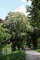 Wien-Penzing - Naturdenkmal 529 - Rosskastanienallee I.jpg